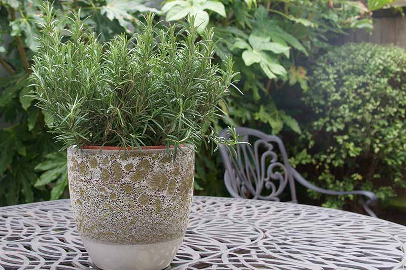 A close up horizontal image of a pot of rosemary set on a metal outdoor table with bushes and shrubs in soft focus in the background.