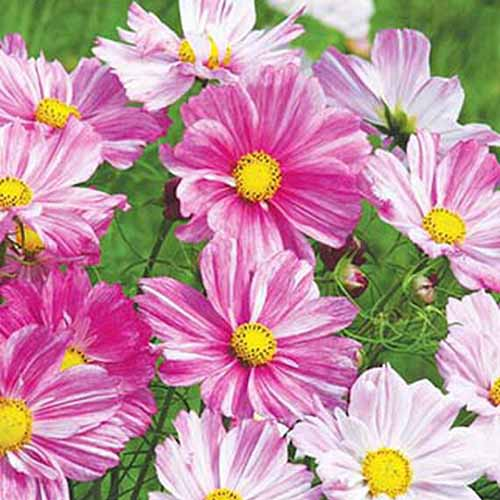 A close up square image of 'Rosetta' cosmos flowers growing in the garden.