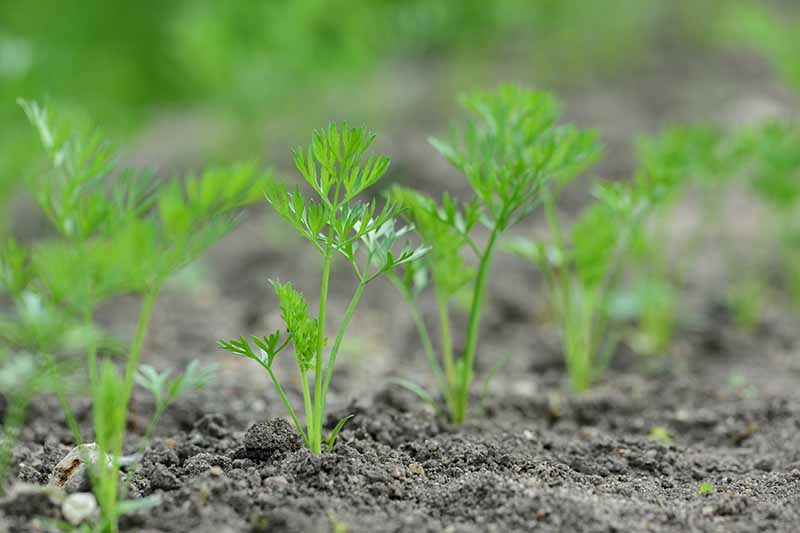 A close up horizontal image of rows of seedlings growing in the garden.