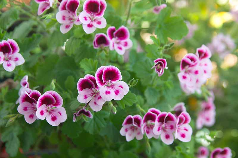A close up horizontal image of pink and purple Pelargonium crispum flowers growing in the garden pictured on a soft focus background.