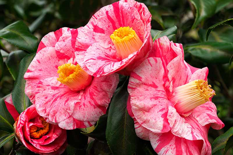 A close up horizontal image of red and pink semi-double camellia flowers growing in the garden.