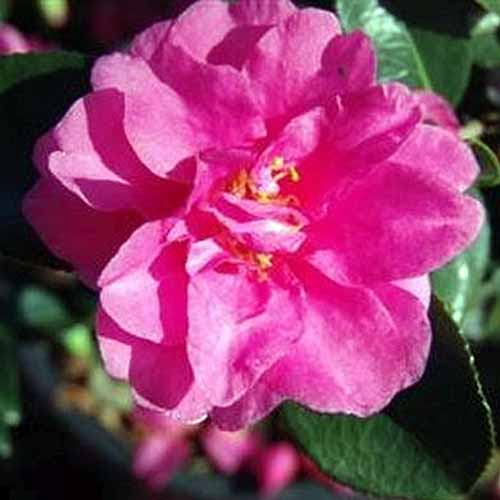 A close up square image of a bright pink 'Shishi Gashira' camellia flower pictured in bright sunshine on a soft focus background.