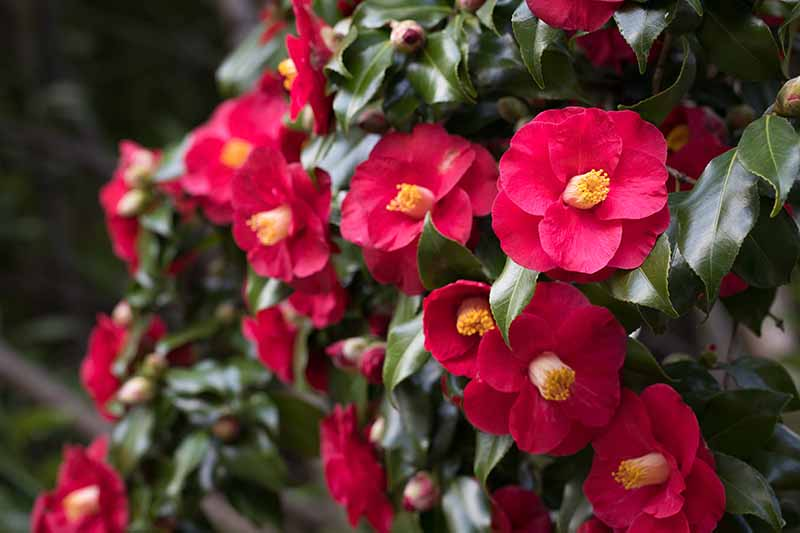 A close up horizontal image of a camellia shrub with bright red flowers growing in the garden pictured on a soft focus background.