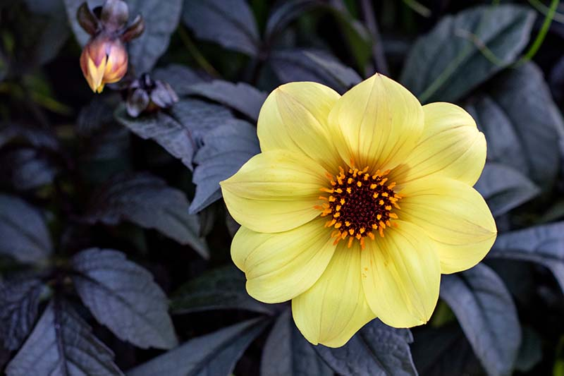 A close up horizontal image of a yellow single petaled dahlia flower with dark green foliage in the background.