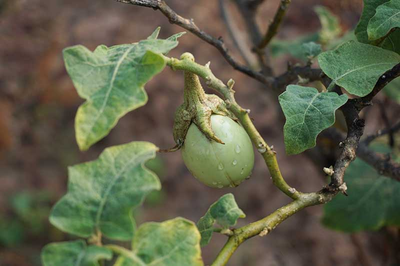 A close up horizontal image of a small unripe eggplant growing in the garden pictured on a soft focus background.
