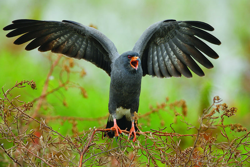 A close up horizontal image of a snail kite with wings outstretched pictured on a soft focus green background.