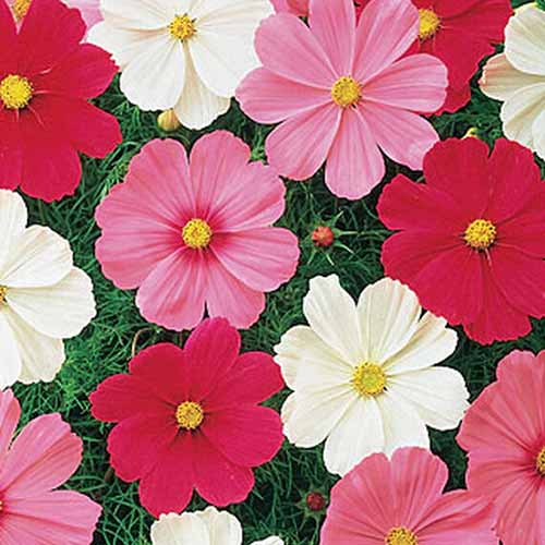 A close up square image of 'Sonata' cosmos flowers growing in the garden.