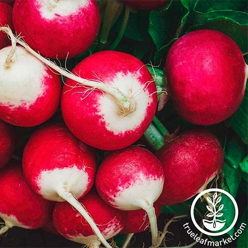A close up square image of 'Sparkler' radishes freshly harvested pictured on a soft focus background. To the bottom right of the frame is a white circular logo with text.