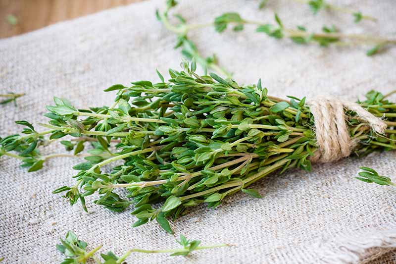 A close up horizontal image of freshly harvested lemon thyme with sprigs tied together with string set on a burlap surface.