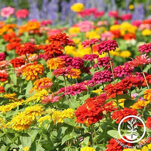 A close up square image of a swath of 'State Fair' zinnia flowers growing in the garden pictured in bright sunshine. To the bottom right of the frame is a white circular logo with text.