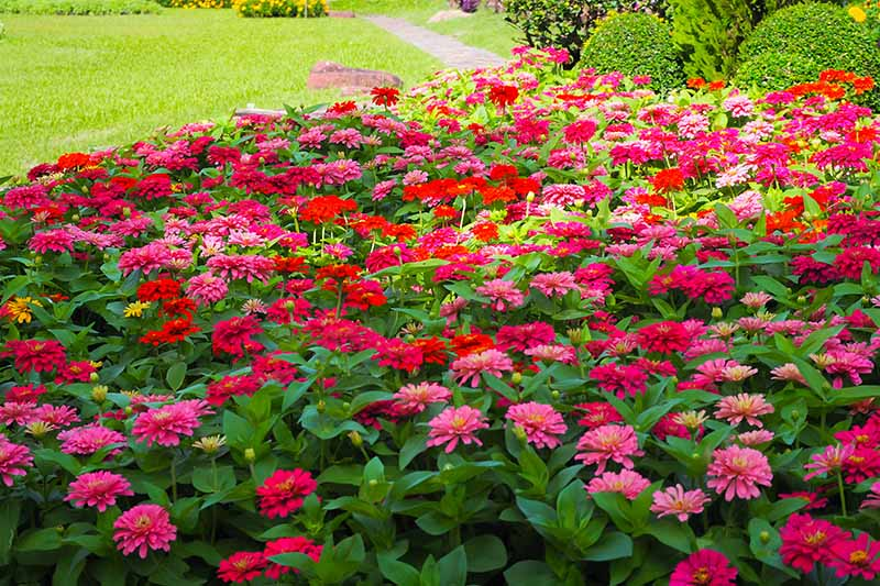 A horizontal image of a garden scene of a swath of zinnia flowers growing in a border.
