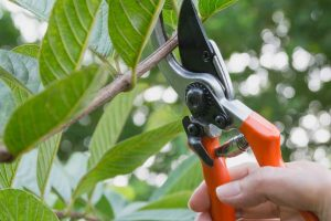 The Basics of Pruning Shrubs and Woody Plants