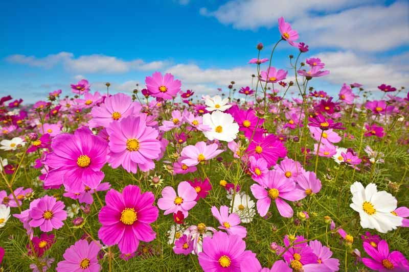A horizontal image of pink and white cosmos flowers growing in a wildflower meadow with blue sky in the background.