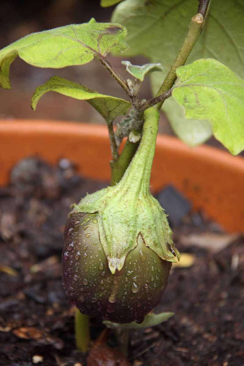 A close up vertical image of a Solanum melongena plant growing in a container with an unripe fruit pictured on a soft focus background.