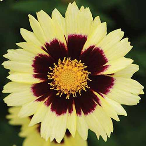 A close up square image of UpTick Cream and Red coreopsis flower pictured on a dark background.