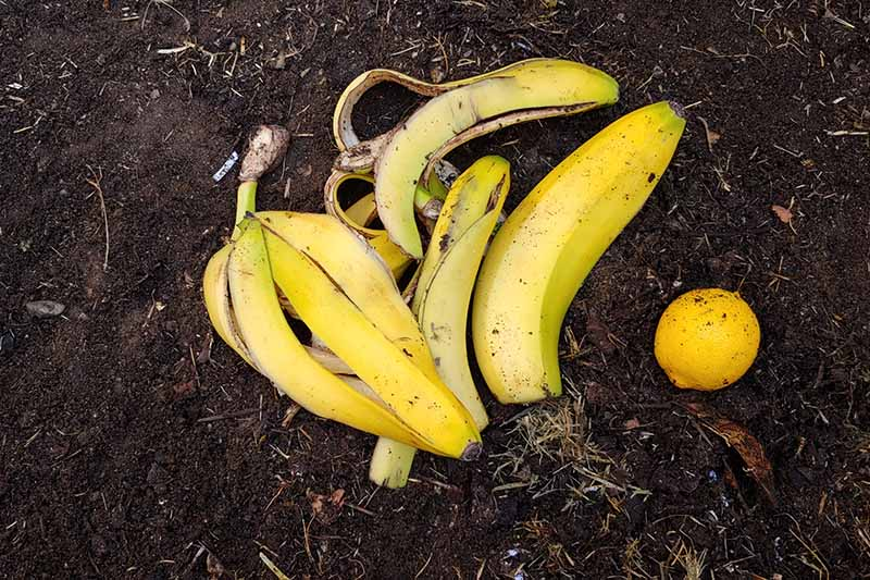 A close up horizontal image of banana skins placed on a compost pile.
