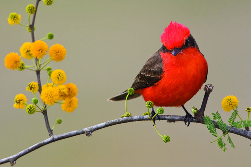 A close up horizontal image of a vermillion flycatcher on the branch of a tree pictured on a soft focus background.