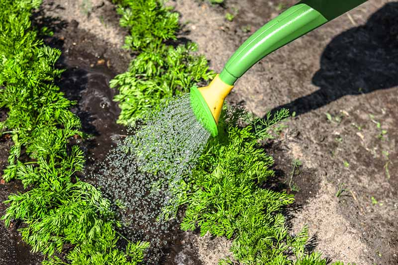 A close up horizontal image of the nozzle of a green watering can irrigating seedlings in the garden.