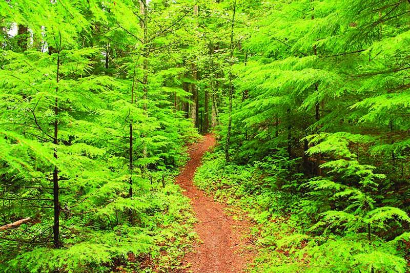 A close up horizontal image of a path through western hemlock trees (Tsuga heterphylla).