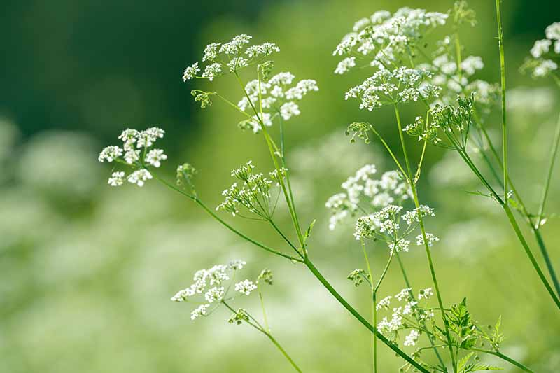 A close up horizontal image of the white flowers and feathery foliage of anise (Pimpinella anisum) growing in the garden pictured on a soft focus background.