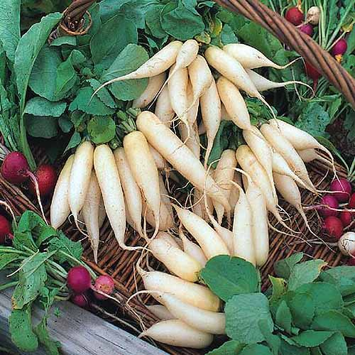 A close up square image of 'White Icicle' and small red radish set in a wicker basket.