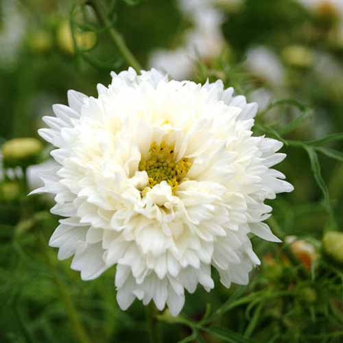 A close up square image of a 'White Knight' flower pictured on a soft focus background.