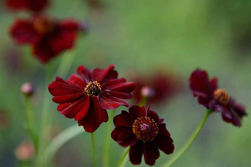 A close up horizontal image of deep red wild cosmos flowers pictured on a soft focus background.