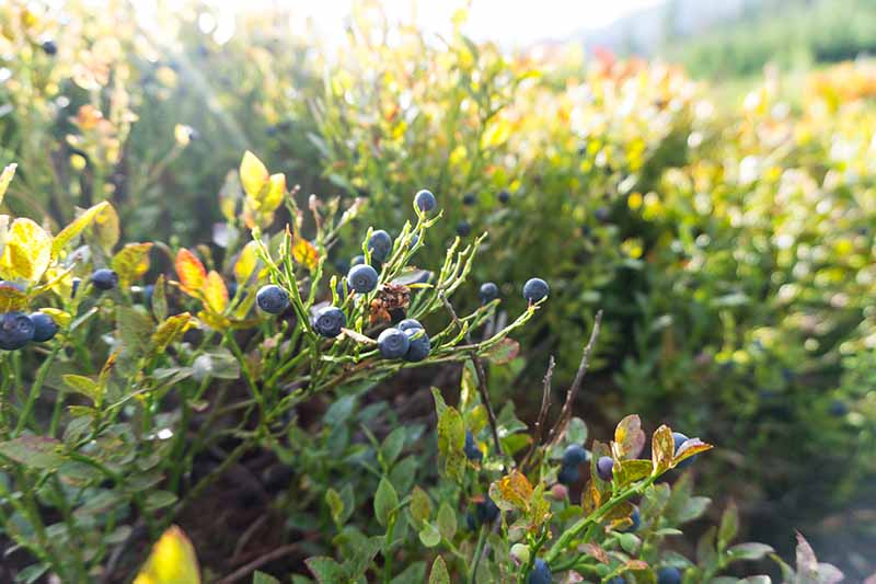 A horizontal image of lowbush blueberries (Vaccinium angustifolium) pictured in light evening sunshine.