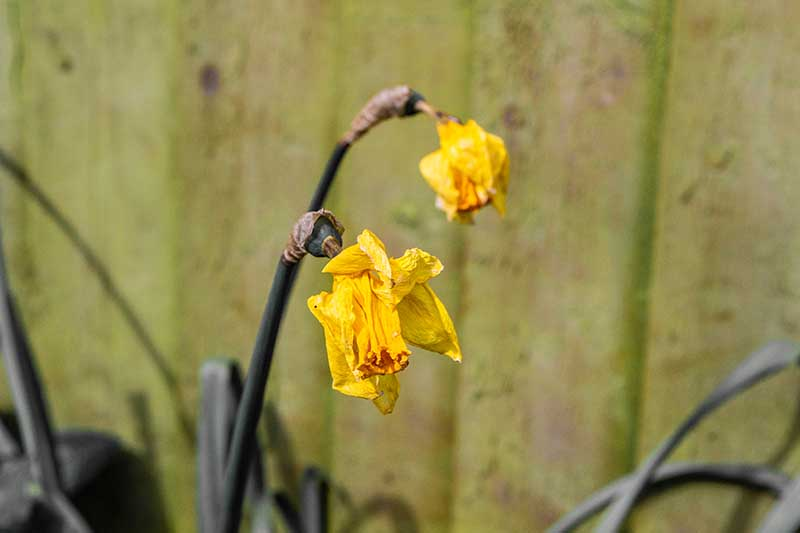 A close up horizontal image of wilting daffodil flowers pictured on a soft focus background.