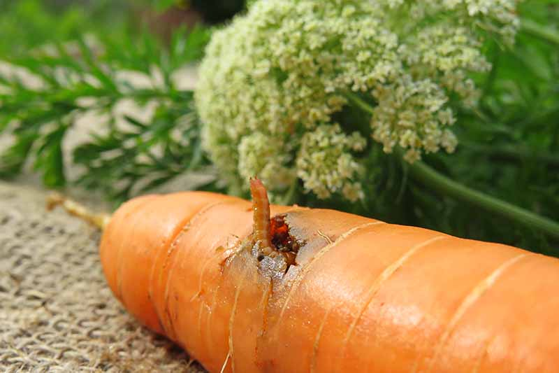 A close up horizontal image of a wireworm infesting a carrot.