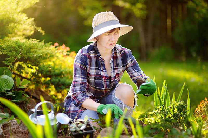 A close up horizontal image of a woman working in the garden planting out seedlings in springtime pictured in light filtered sunshine.