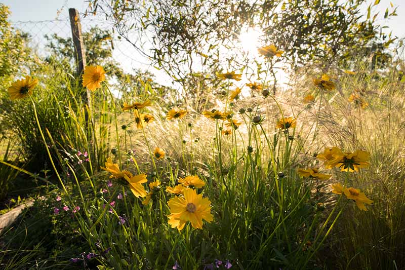 A horizontal image of yellow flowers growing in the garden pictured in evening sunshine