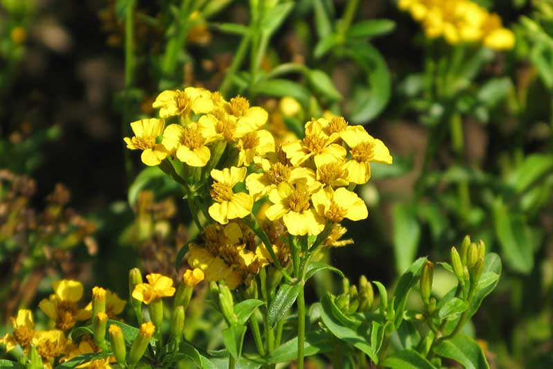 A close up horizontal image of a Tagetes lucida plant growing in the garden pictured in bright sunshine.
