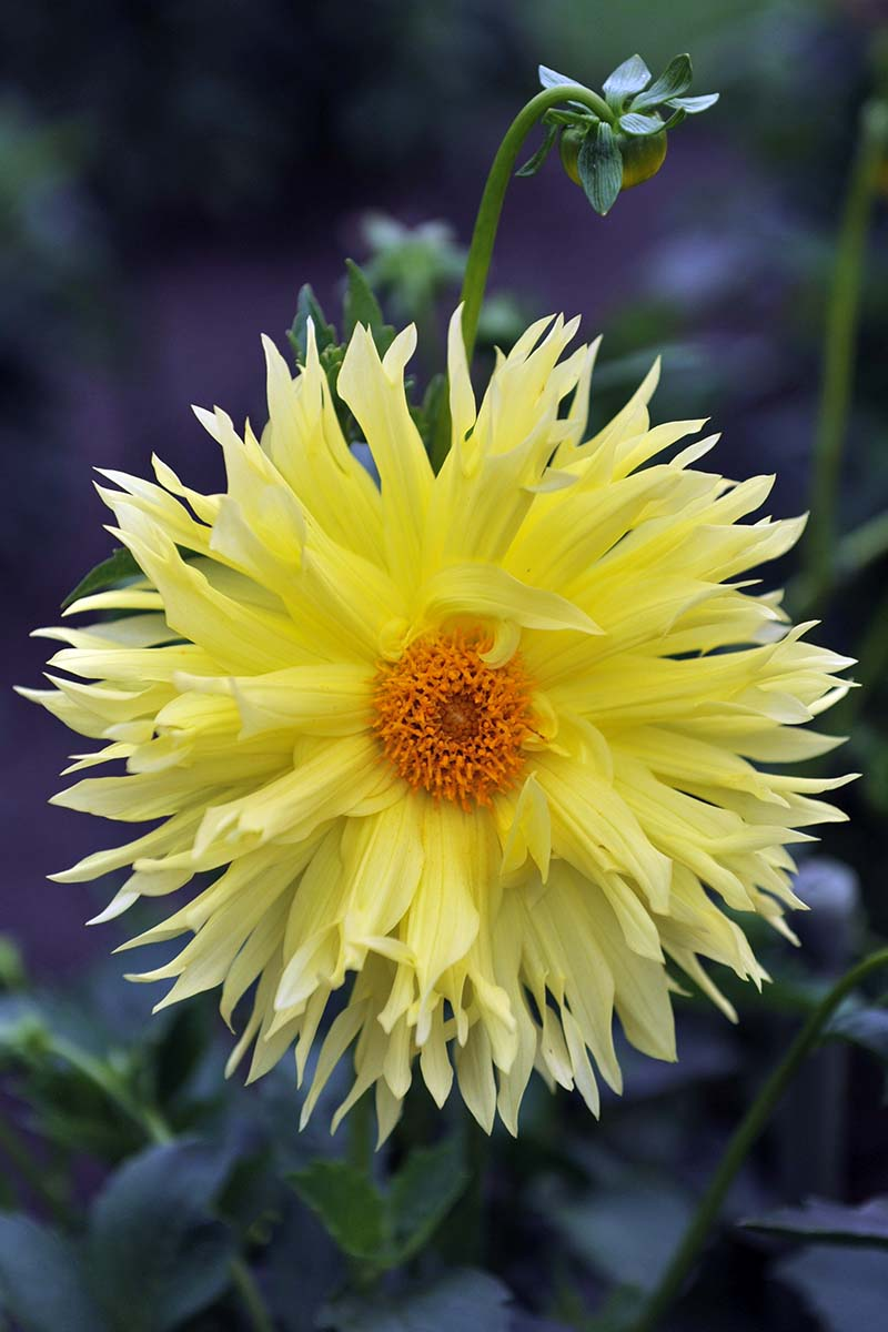 A close up vertical image of a bright yellow Lacinated dahlia flower pictured on a soft focus background.