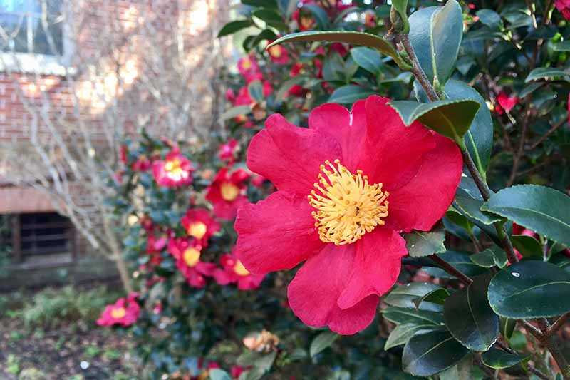 A horizontal image of bright red 'Yuletide' flowers growing in the garden with a brick home in the background.