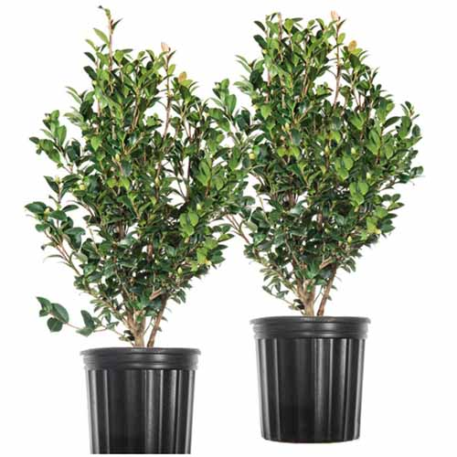 A close up square image of two camellia shrubs in black plastic pots isolated on a white background.