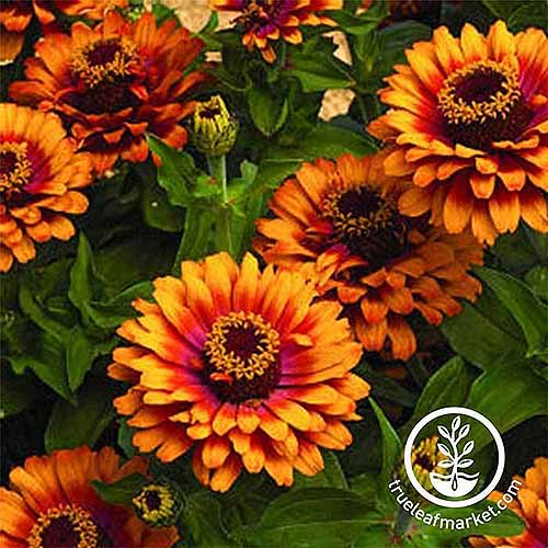 A close up square image of bright orange 'Zowie Yellow Flame' flowers growing in the garden pictured on a soft focus background. To the bottom right of the frame is a white circular logo with text.