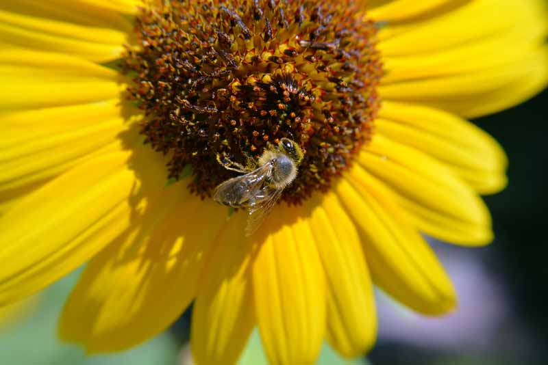 A close up of a beneficial insect feeding on a sunflower.