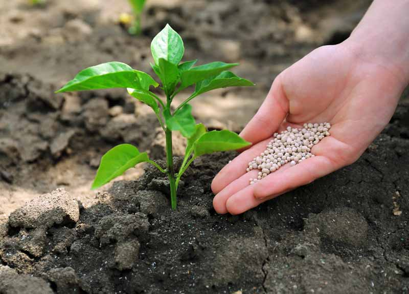 A close up of a hand from the right of the frame applying granular fertilizer to the soil around a pepper plant.