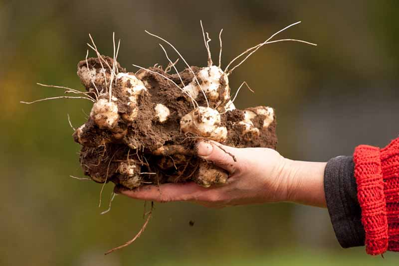 A human hand holds a large Jerusalem artichoke tuber that has been freshly dug from the ground.
