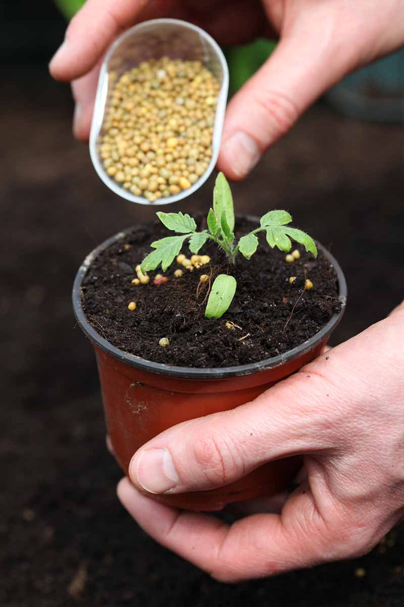 A human hand pouring granular fertilizer onto the soil of a seedling growing in a small pot.