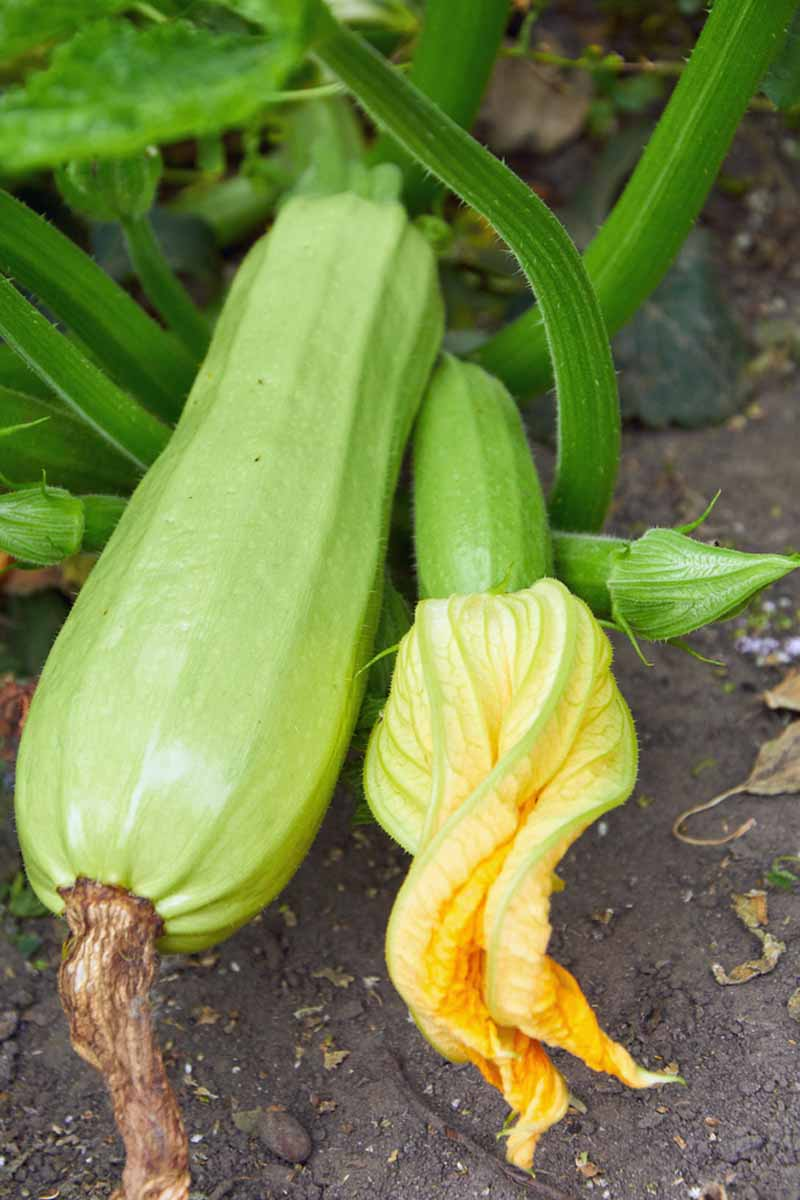 A vertical close up picture of summer squash growing in the garden.