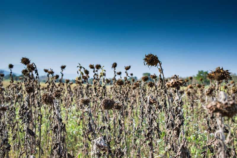 A field of dry, shriveled plants, dying in the heat of the sun.