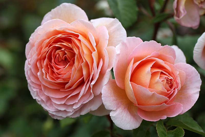 A close up horizontal image of peach colored 'Abraham Darby' flowers on a soft focus background.