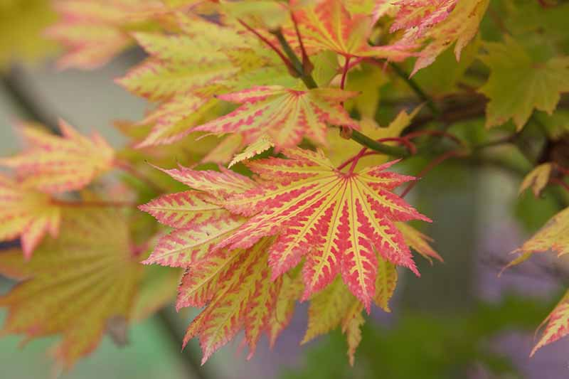 A close up horizontal image of the red and golden foliage of Acer sieboldianum growing in the fall garden pictured on a soft focus background.