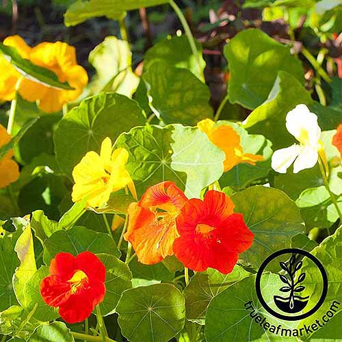 A close up square image of Tropaeolum 'Alaska' growing in the garden. To the bottom right of the frame is a black circular logo with text.