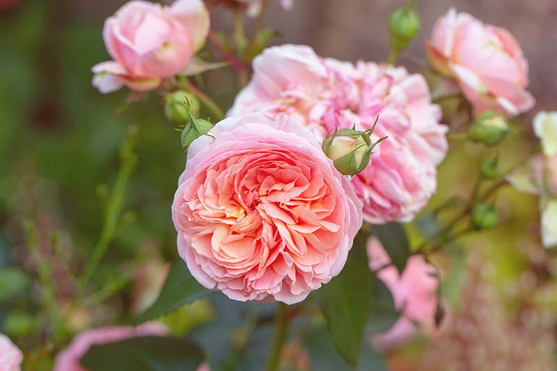 A close up horizontal image of David Austin English roses Growing in the garden.