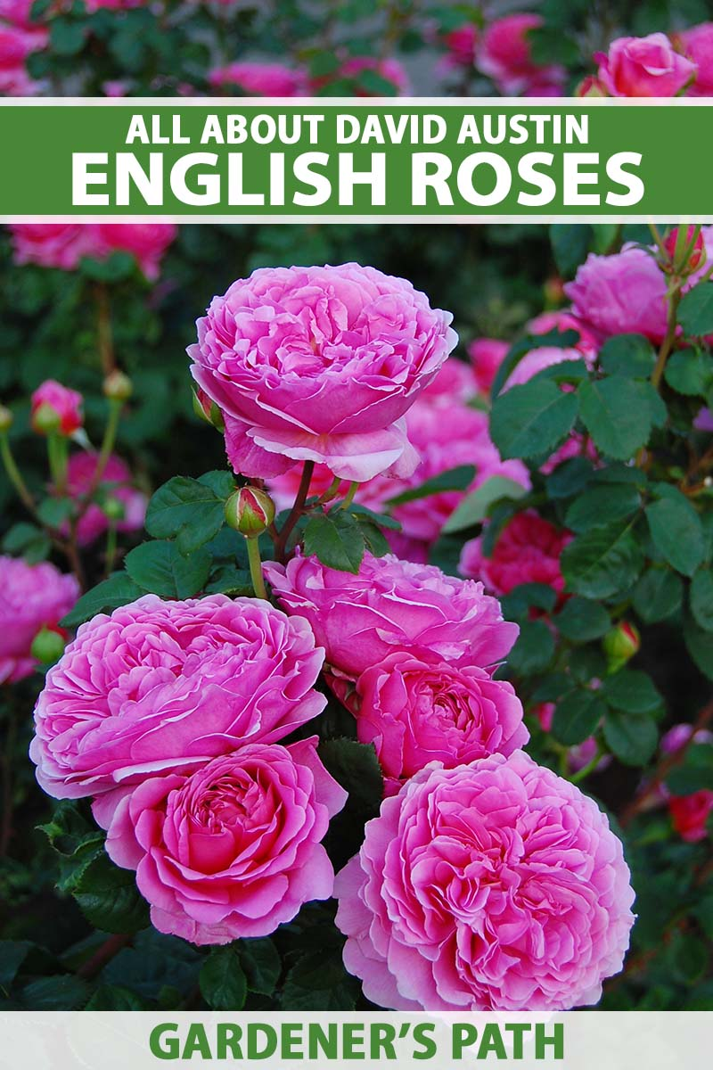 A close up vertical image of bright pink David Austin English roses growing in the garden. To the top and bottom of the frame is green and white printed text.