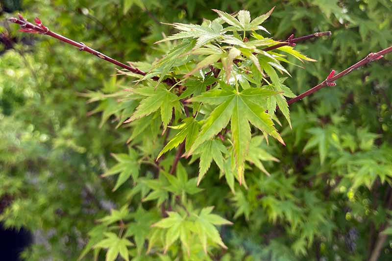 A close up horizontal image of Acer palmatum 'Amber Ghost' growing in the garden.