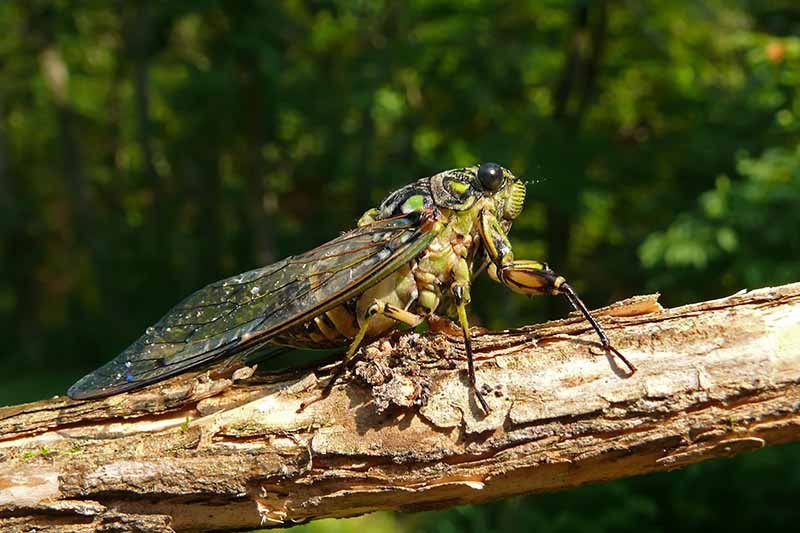 A close up horizontal image of an annual cicada (Tibicen bichamatus) on the branch of a tree pictured in bright sunshine on a soft focus background.